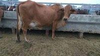 Sahiwal Cows karnal