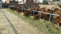 Sahiwal Cows suppliers in haryana