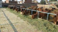 Sahiwal Cows suppliers in haryana