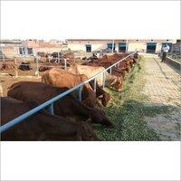 sahiwal farm in karnal