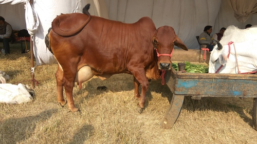 Sahiwal Cow Suppliers