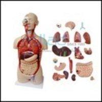 Human Anatomy Torso 10 Parts