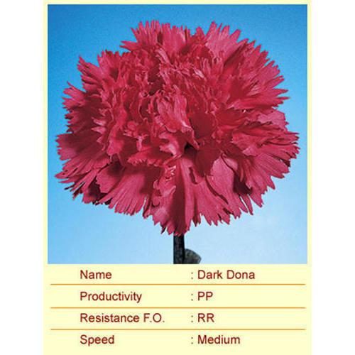 Dark Dona Carnation Plant
