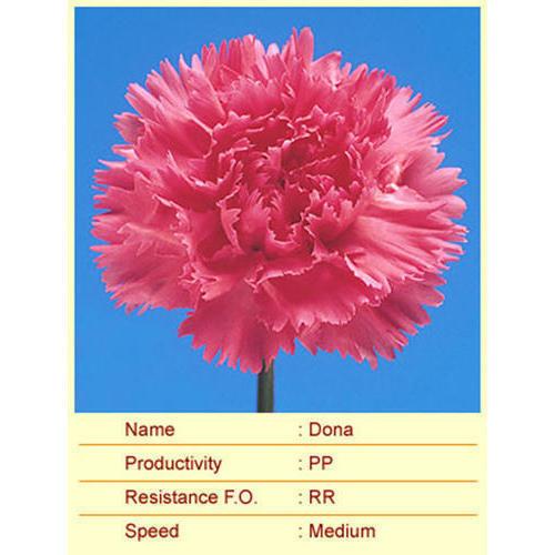 Dona Carnation Plant