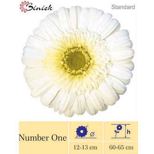 Number One Gerbera Plants