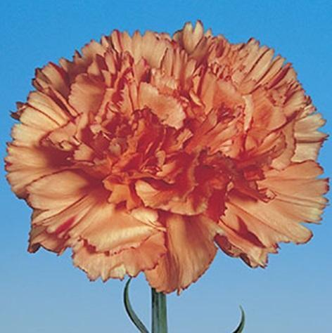 Orange Magic Carnation Plants