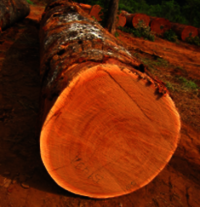Bilinga wood