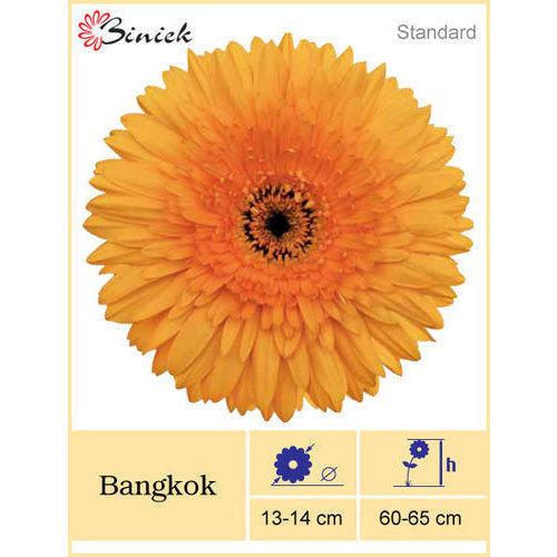 Bangkok Gerbera Plant