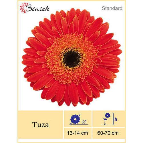 Tuza Gerbera Plant