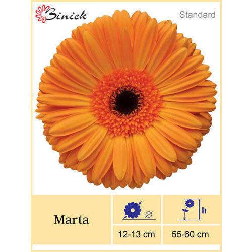 Marta Gerbera Plant