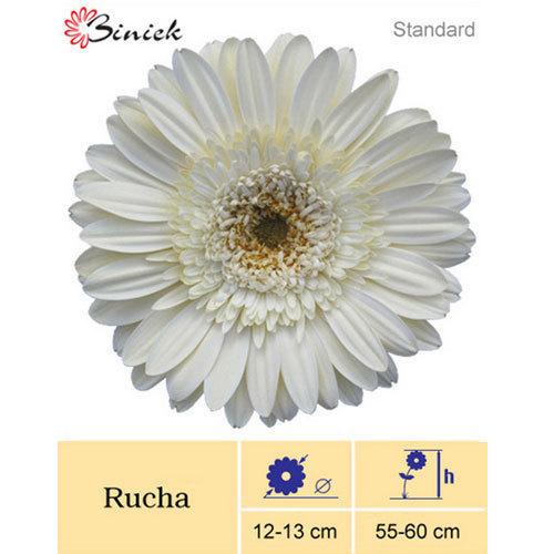 Rucha Gerbera Plant