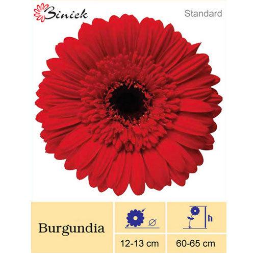 Burgundia Gerbera Plant