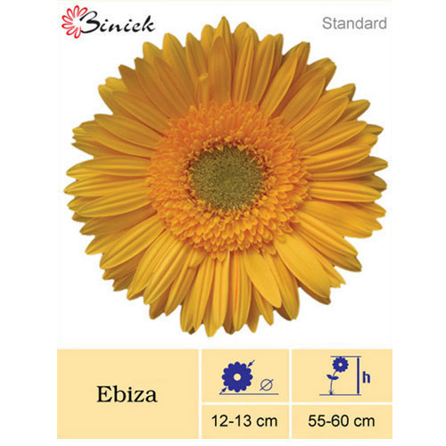 Ebiza Gerbera Plants