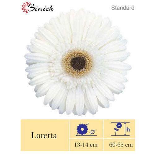 Loretta Gerbera Plants
