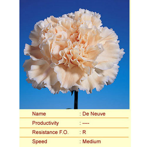 De-Neuve Carnation Plants