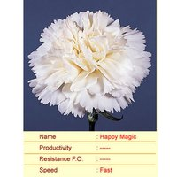 Happy Magic Carnation Plant