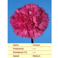 Horizon Carnation Plant