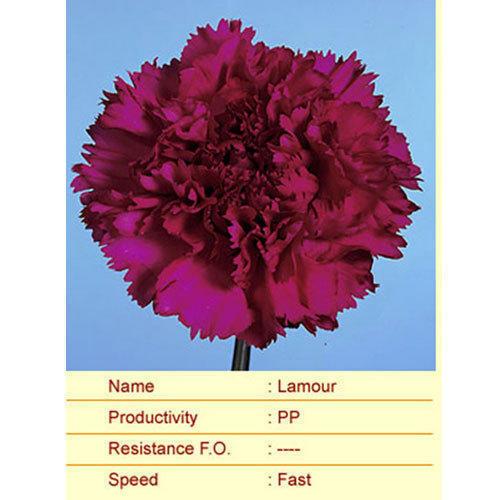 Lamour Carnation Plant