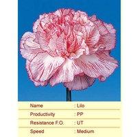 Lilo Carnation Plant