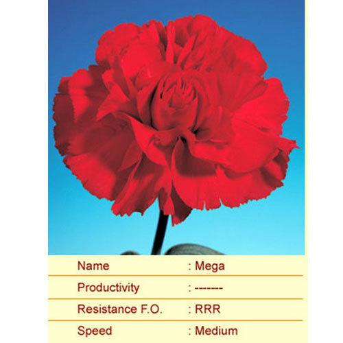 Mega Carnation Plant