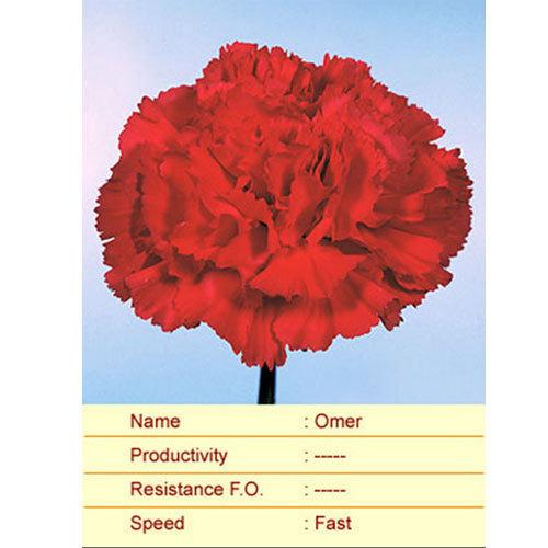 Omer Carnation Plant