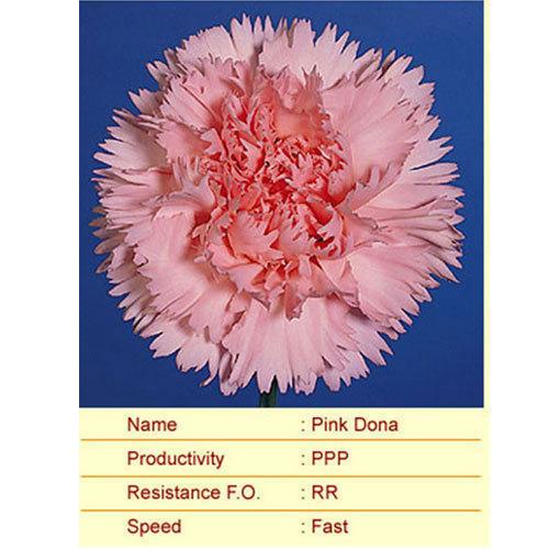 Pink Dona Carnation Plants
