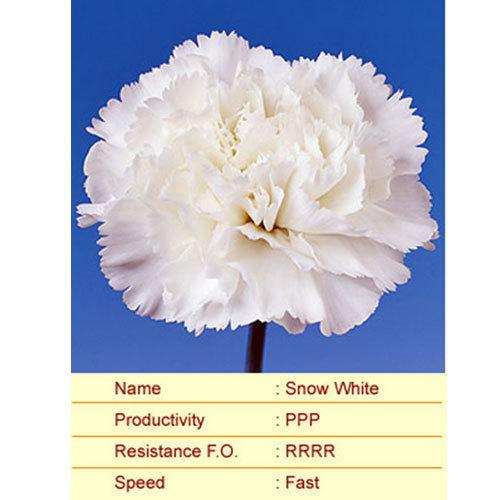 Snow White Carnation Plants