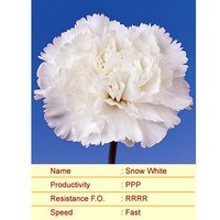 Snow White Carnation Plants