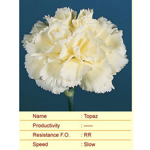 Topaz Carnation Plants