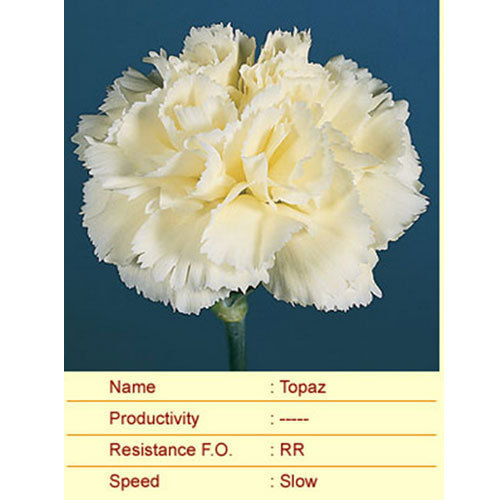 Topaz Carnation Plants