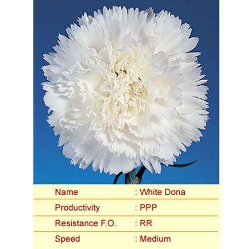 White Dona Carnation Plants