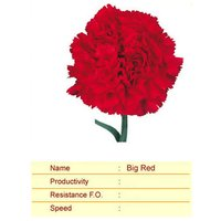 Big Red Carnation Plant