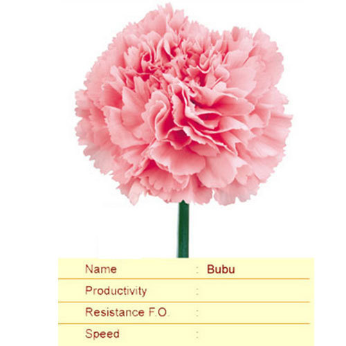 Bubu Carnation Plant
