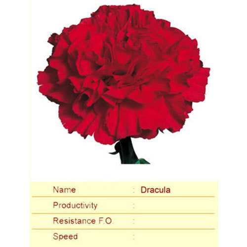 Dracula Carnation Plant