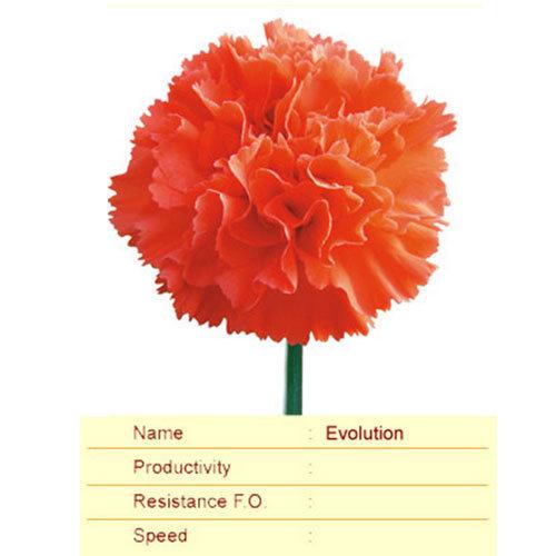 Evolution Carnation Plant