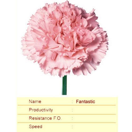 Fantastic Carnation Plant