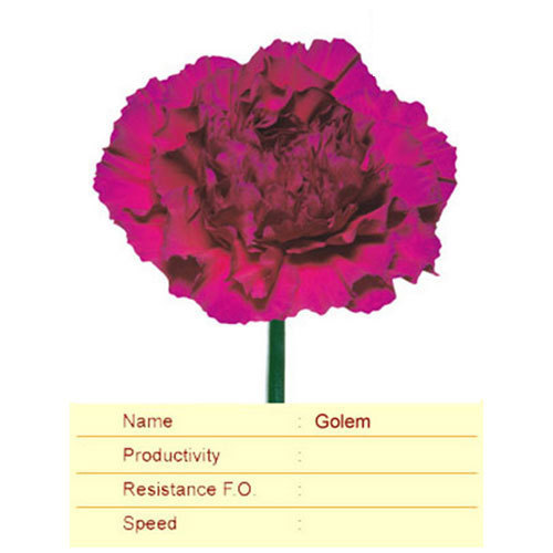 Golem Carnation Plant