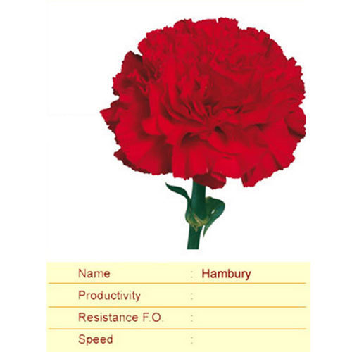 Hambury Carnation Plant