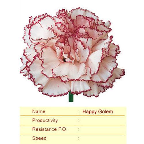 Happy Golem Carnation Plant