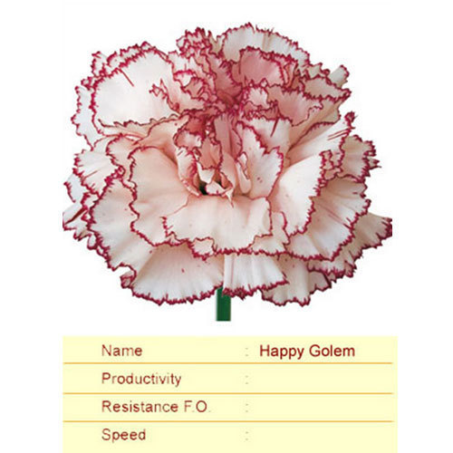 Happy Golem Carnation Plant