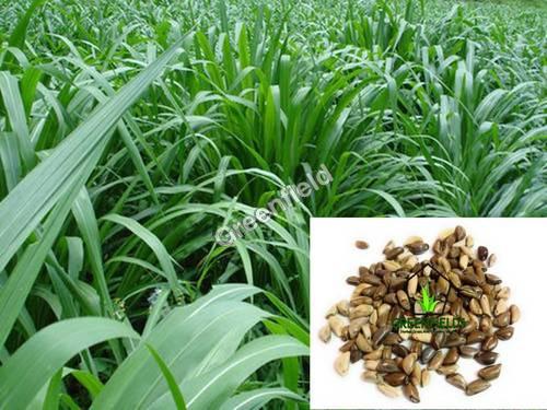Napier Co4 Grass Seeds