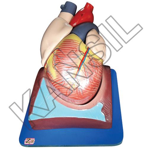 Human Heart (7 Parts) model