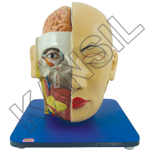 Head, Brain and Eye Model