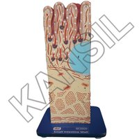 Small Intestine Wall Model