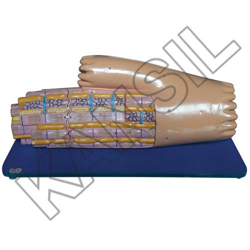 Cardiac Muscle Fibre Model
