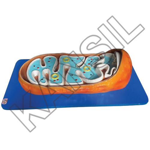 Mitochondria Model