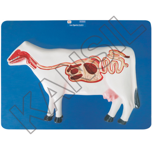 Cow Digestive System Model