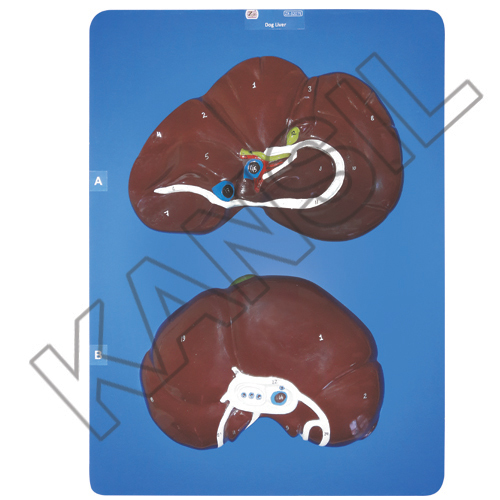 Dog Liver Model