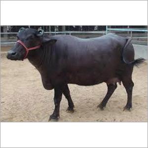 Heifer Buffalo