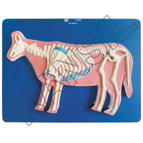Cow Skeleton Model